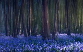Wallpaper trees, flowers, nature, blur, Forest, bells, blue