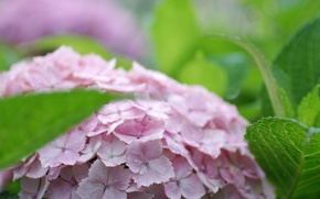 Wallpaper leaves, pink, hydrangea, inflorescence