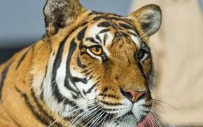 Picture cat, look, face, tiger, ©Tambako The Jaguar