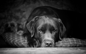 Picture look, each, Peter, Labrador, best dog