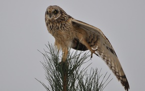 Picture needles, tree, owl, bird, wing, needles, pine, stretching, the tip