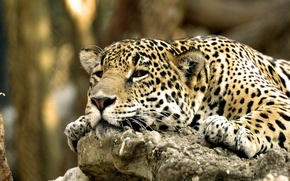 Picture face, leopard, Lazy Leopard