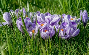Picture grass, flowers, spring, crocuses, lilac