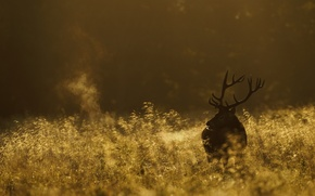 Picture field, nature, deer, morning