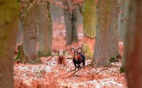 Wallpaper winter, bighorn sheep, forest, France