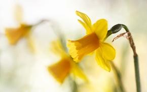 Wallpaper macro, bokeh, Spring yellows, daffodils.yellow