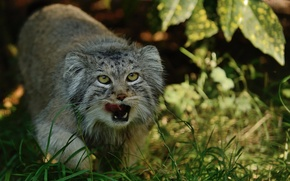 Picture language, cat, grass, manul