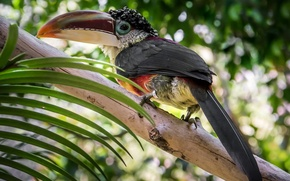 Picture birds, tree, foliage, Toucan, Wallpaper from lolita777