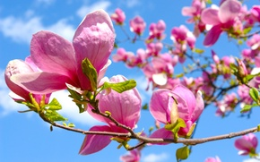 Picture flowers, spring, Magnolia