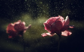 Picture drops, flowers, rain, roses