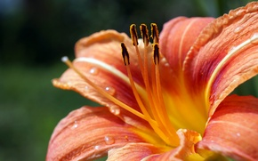 Picture Lily, flowers, macro, orange, Lily