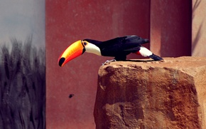 Picture bird, black, feathers, beak, Toucan