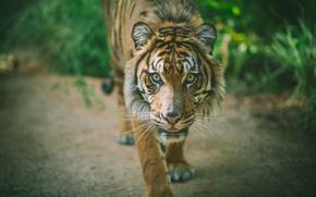Picture tiger, animal, predator