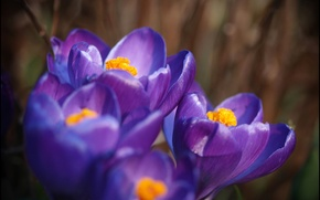 Wallpaper purple, macro, orange, lilac, petals, Crocuses