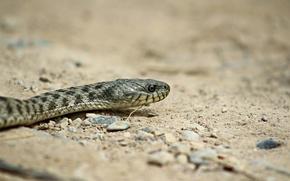 Picture sand, background, snake, predator, reptile