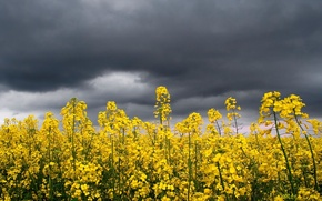 Picture the storm, the sky, flowers, yellow, bright, clouds