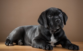 Picture black, puppy, cane Corso