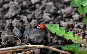 Picture insects, ladybug, beetle