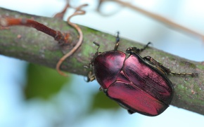 Picture beetle, branch, cherry, insect, brantovka, Wallpaper from lolita777