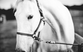 Picture eyes, horse, white