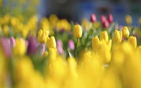 Picture flowers, light, red, bright, buds, tulips, glade, yellow, spring