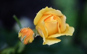 Picture rose, blur, Bud, yellow