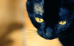 Picture mustache, close-up, muzzle, yellow eyes, black cat
