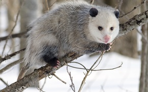 Picture branch, Virginia opossum (Didelphis virginiana) in winter attire, location, kindness, welcoming look