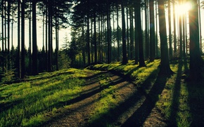 Picture greens, forest, grass, leaves, the sun, trees, trunks, foliage, the evening, rays of light, forest ...