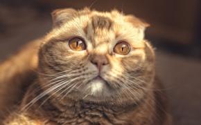 Picture face, the sun, portrait, red, cat, Scottish fold