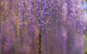 Wallpaper flowers, macro, lilac, blur, tree, Wisteria, Wisteria, branches, curtains spring
