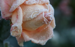 Picture cold, frost, autumn, flower, macro, flowers, background, Wallpaper, rose, garden, frost, rose petals