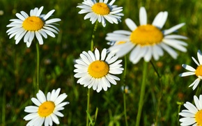 Picture field, flowers, glade, chamomile, spring, beautiful, flowering, aroma