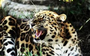 Wallpaper leopard, fangs, grin, lies, growls