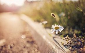 Wallpaper bokeh, glare, Daisy, flower