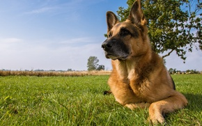 Picture dog, meadow, shepherd, German shepherd