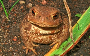 Picture animals, macro, toad