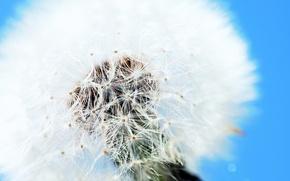 Picture white, nature, dandelion