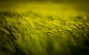 Picture field, spikelets, green