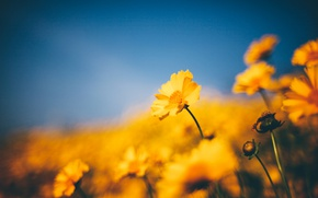 Picture yellow, flowers, bokeh