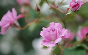 Picture flowers, branches, roses, pink