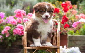 Wallpaper language, summer, flowers, dog, small, garden, red, cute, puppy, face, sitting, flowerbed, pretty, chair, shepherd, ...