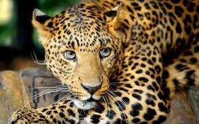 Picture eyes, mustache, look, predator, leopard, Big cat