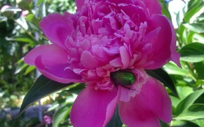 Picture greens, flower, summer, heat, bug, Peony