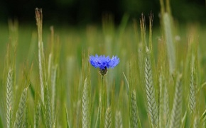 Picture summer, ears, cornflower