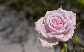 Picture drops, macro, rose, Bud