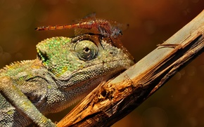 Picture macro, branch, dragonfly, lizard, insect, chameleon