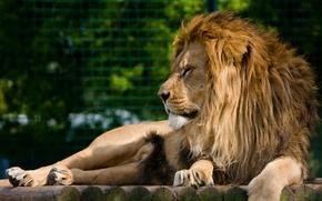 Picture face, stay, predator, Leo, mane