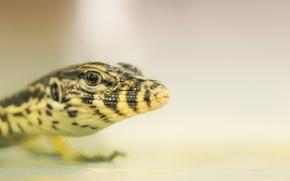 Picture lizard, beast, reptile