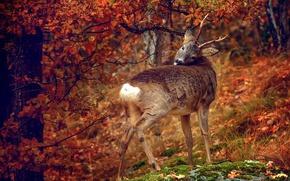 Picture autumn, leaves, tree, autumn colors, deer, wildlife